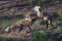 http://4.bp.blogspot.com/_TwyI2AUl8U0/RhUHpoE-7gI/AAAAAAAAADg/O0d_jAXySbk/s200/fox_fight.jpg