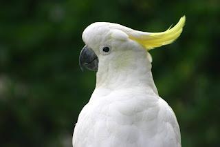 Beautiful parrots wallpapers birds photos pigeons for Cocktail yellow bird