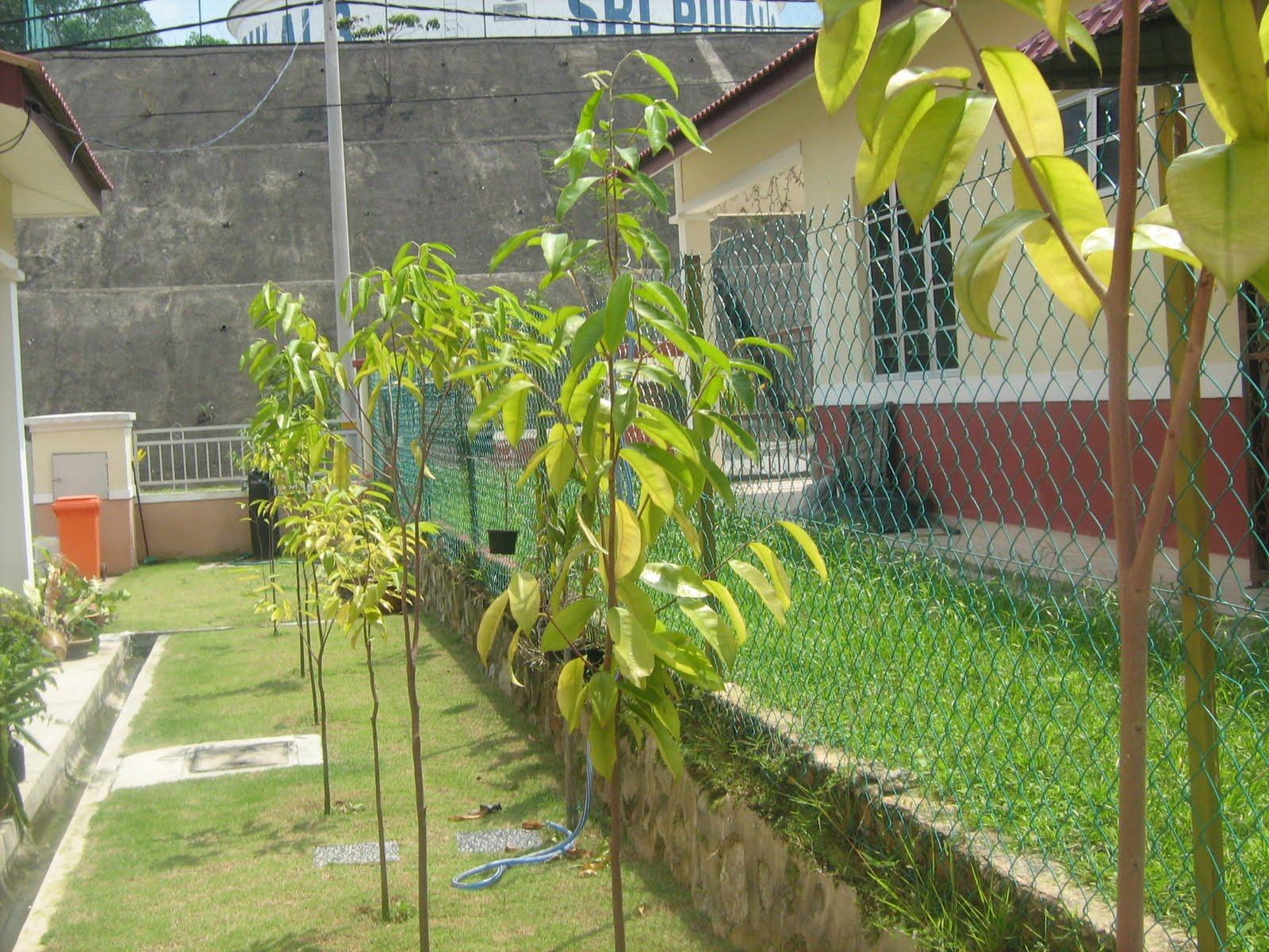 Pokok Gaharu Terbaik Ini Pokok Gaharu di Laman