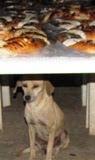 El mejor amigo del hombre cuida rosk de Reyes en Tenabo. 19enero2011.