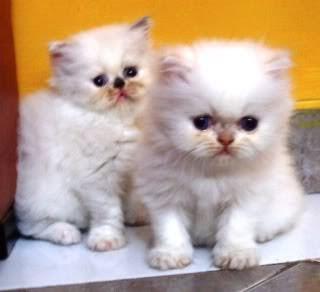 free-money: kucing lucu persia bandung