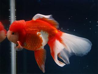 Venta de goldfish reproduccion criadero for Reproduccion de peces ornamentales
