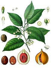 The nutmeg plant is native to Indonesia's Banda Islands. Once one of the world's most valuable commodities, it drew the first European colonial powers to Indonesia.