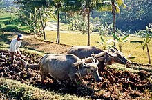 Using water buffalo to plough rice fields in Java. Agriculture has been the country's largest employer for centuries.