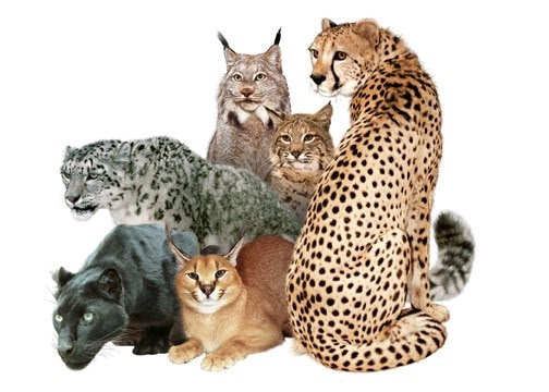 Top  Big Cat Breeds