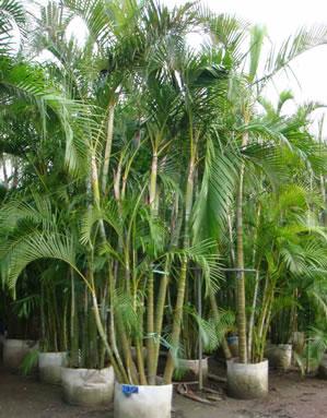 Indoor plants palm