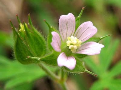 http://4.bp.blogspot.com/_U5oECNBru3g/RXZgDjLV4JI/AAAAAAAAAA0/kgmed-0wcaY/s400/geranium+carolinianum+(wild+geranium)+geraniaceae.JPG