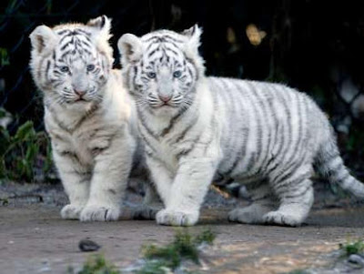 Two Baby Tiger Cubs Cute Photo