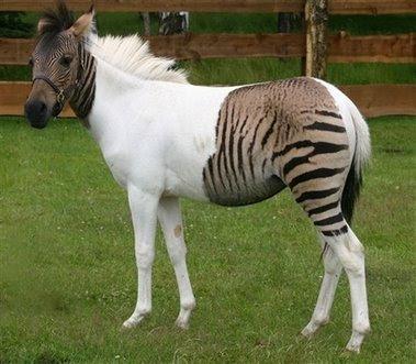 Zebra Horse Free Desktop Wallpaper