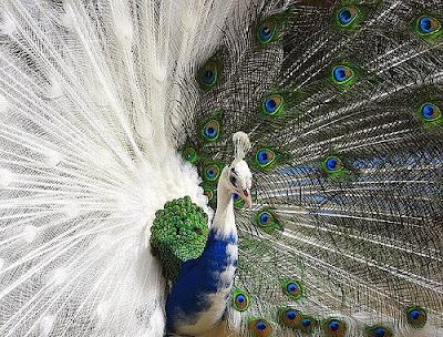 White  Peacock Pics
