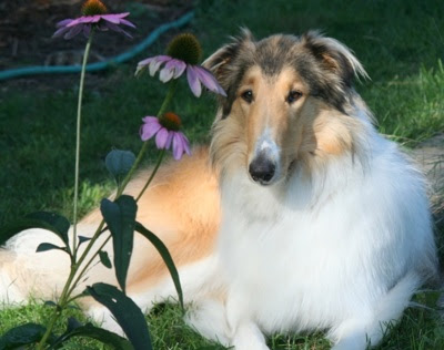 Rough Collie Angel2yr TherapyDog Wallpaper