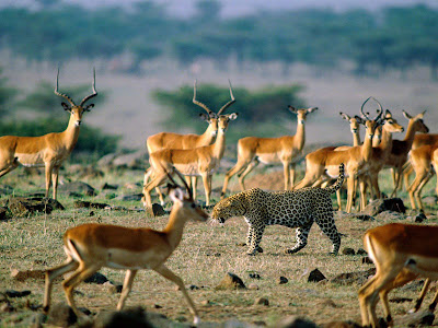 Leopard and Antelopes Wallpaper