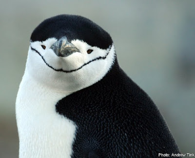 Chinstrap Penguins Picture