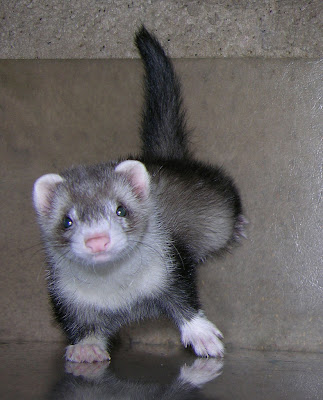 Silvermitt Ferret, Baby Ferret Pics