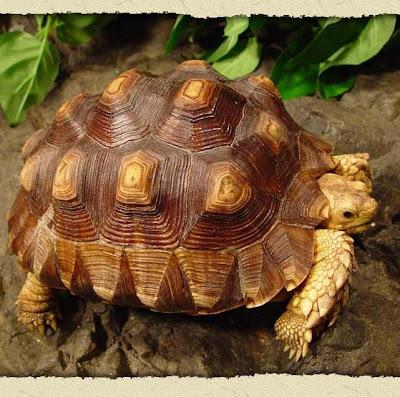 sulcatta tortoise big Tortoise Picture