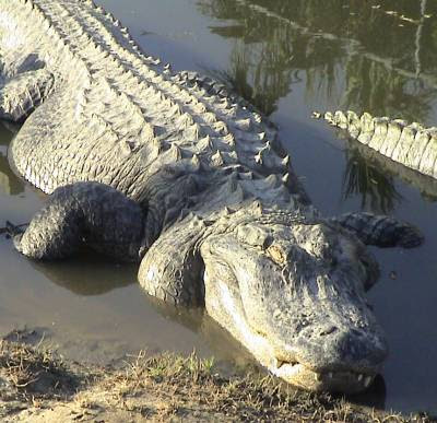 Alligator Wallpaper From Animals Video