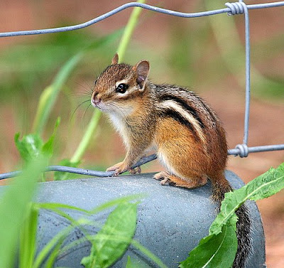 Baby Chipmunk Picture