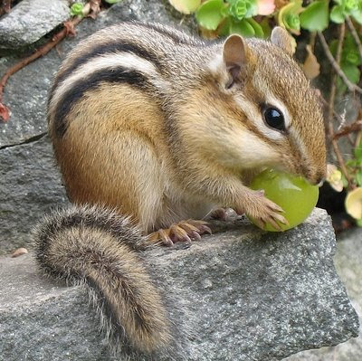Cute Chipmunk eating grape Video Pics