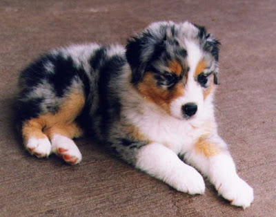 xxx tattoos_26. australian shepherd puppies.
