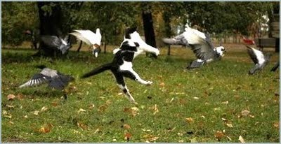 Cat Among The Pigeons Gif