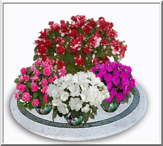 Algo de plantas alegr a de la casa impatiens - La casa de la alegria ...