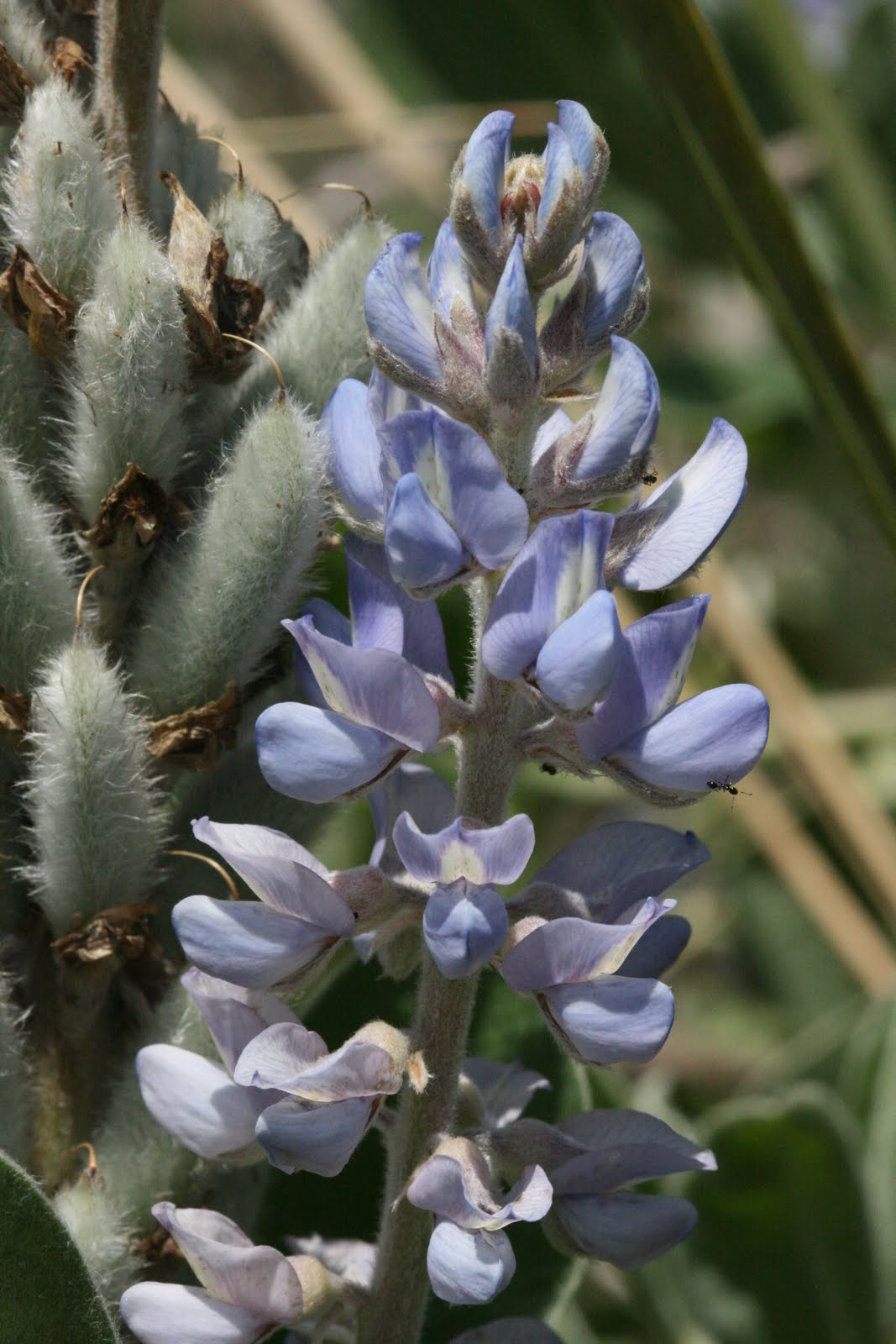 How to plant lupine seeds - Sky Blue Lupine Lupinus Diffusus