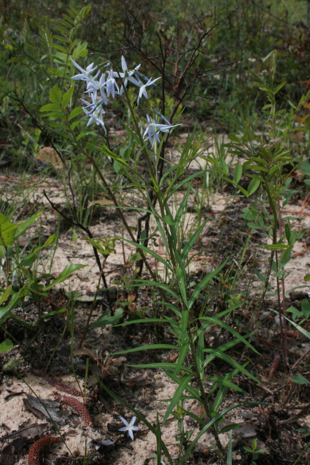 Amsonia Ciliata Seeds Amsonia Ciliata is Found