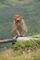 monkey+grimacing - Gusto kag kasilyas nga ingon ani? - Weird and Extreme