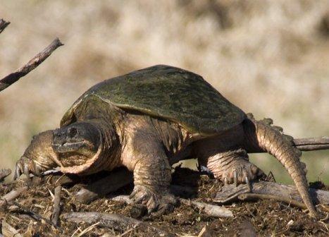 12 kura-kura terunik Commonsnappingturtle