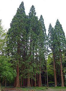 Sequoia1.jpg