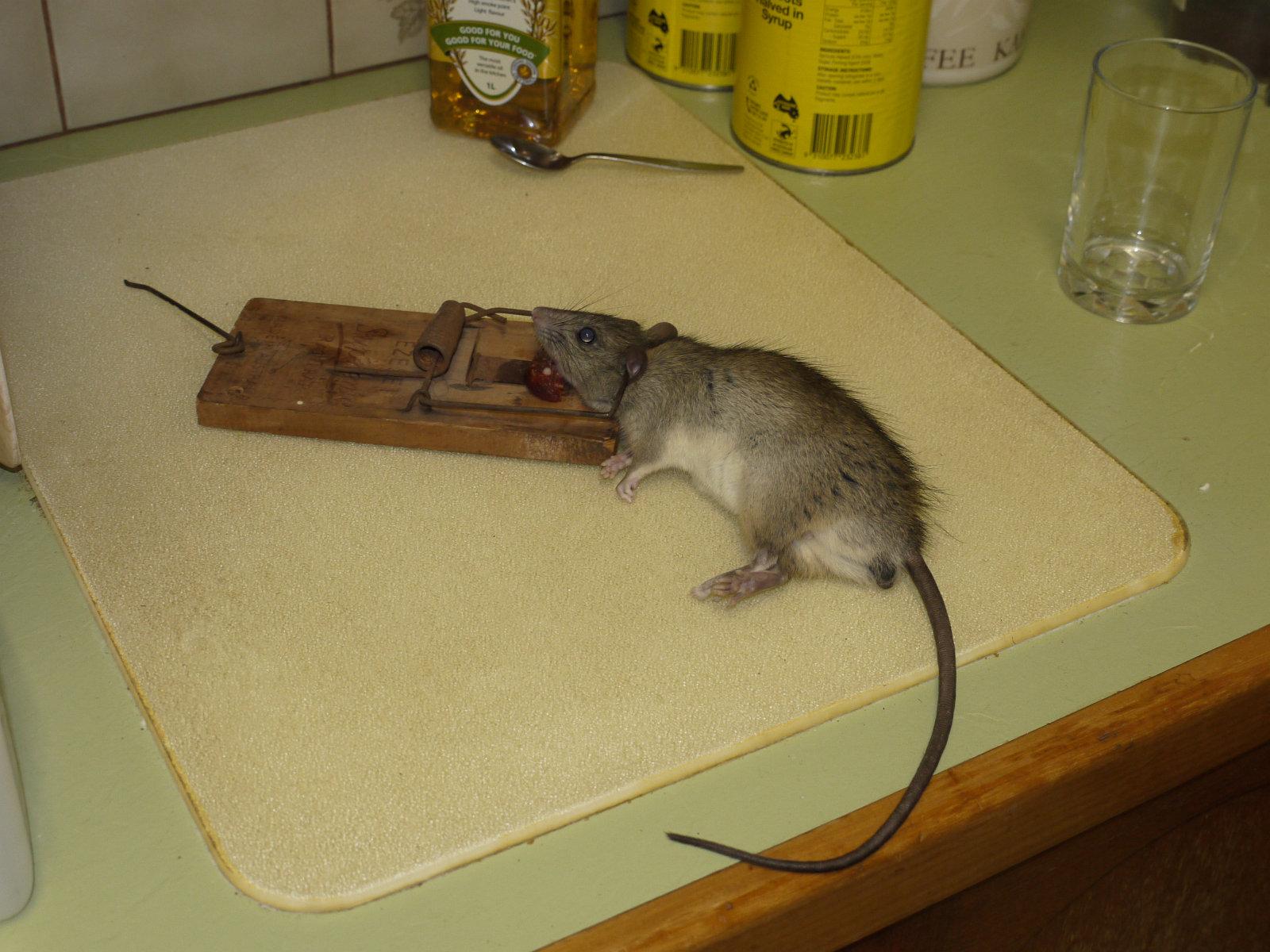 Как поймать крысу, сделать крысоловку своими руками из бутылки 82