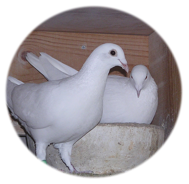 White Dove Release Professionals The Symbolism Of The White Dove