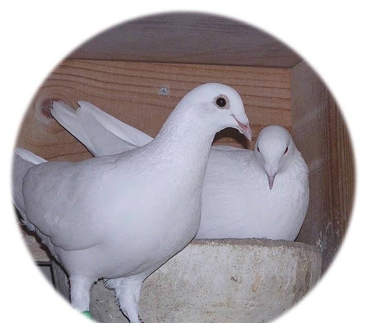 White Dove Release Professionals The Symbolism Of The White Dove