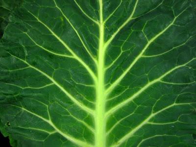 collard leaf