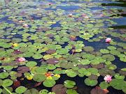 ho sognato fiori di loto. loto: in Oriente rappresenta la perfezione, .