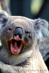 angry_koala.jpg
