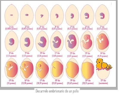 imagen desarrollo embrionario pez: