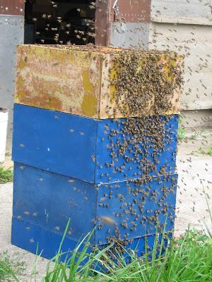 роение пчёл
