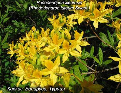 рододендрон цветок фото