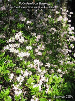 виды рододендронов, сорта рододендронов, цветущие рдодендроны, рододендрон цветок