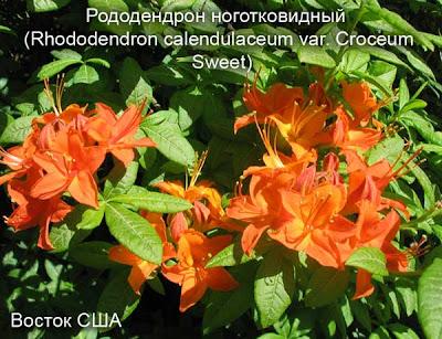 виды рододендронов, рододендрон цветок, сорта рододендронов, цветущие рдодендроны