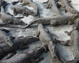 cocodrilitos