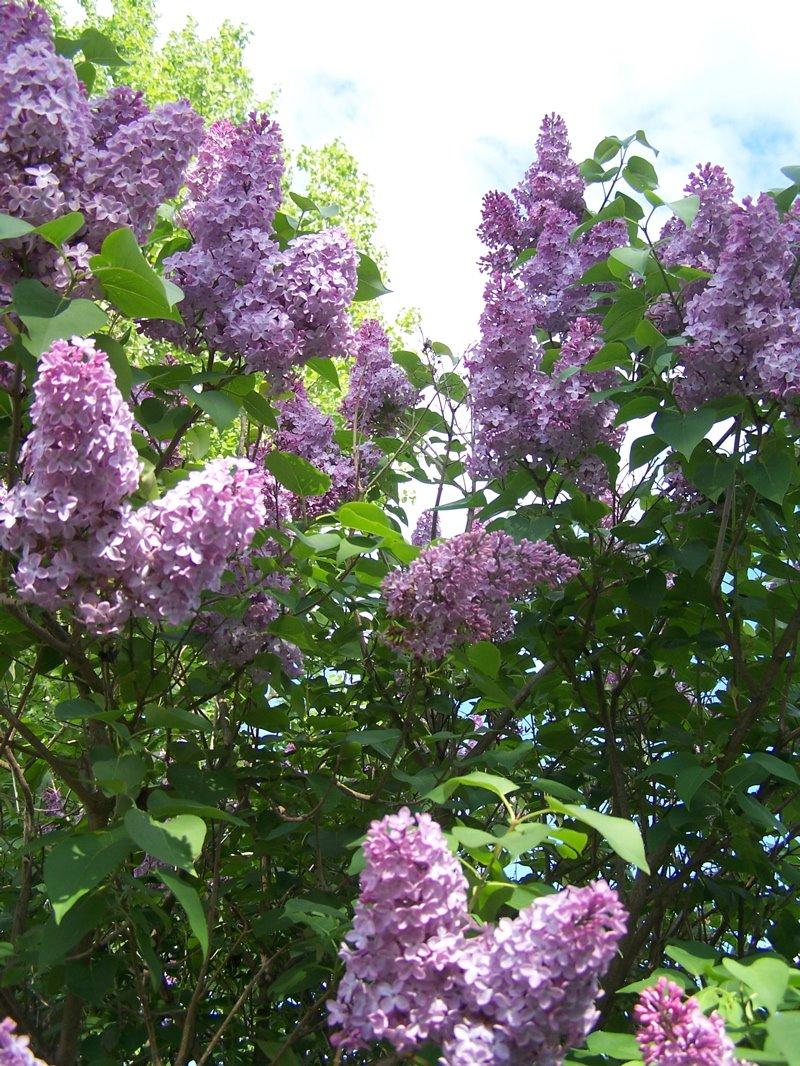 [lilac]