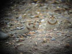 Snow Buntings (Cley)