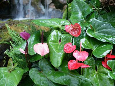 Jardin con cascada flores de anturios rosas y rojos - Jardines con rosas ...