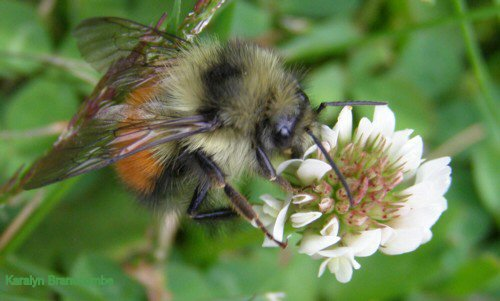 Bumble bee on clover.
