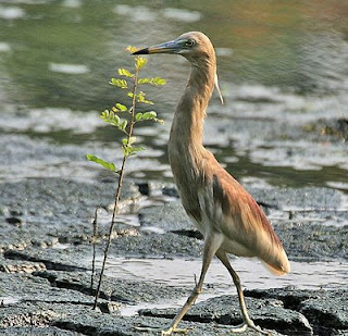 wallpapers of baby indian pond heron cranes