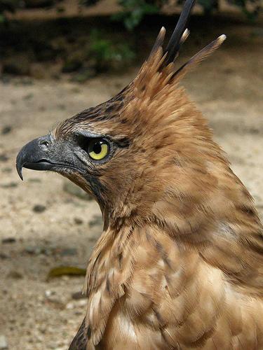 Falconiformes. Família  Acciptridae - Subfamília Buteonidade- Gaviões de penacho. genêro SPIZAETUS Burung+garuda+elang+jawa--bambigoesgreen.com