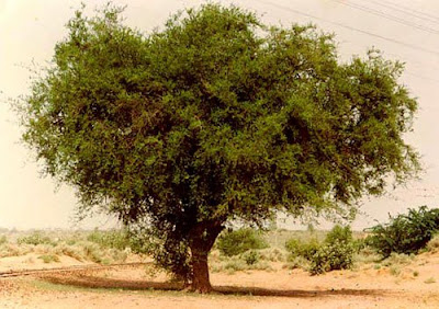 Khejri tree Nagaur