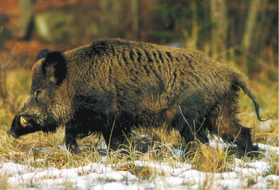 Wild Boar Attacks Human Giant Wild Boar Attack